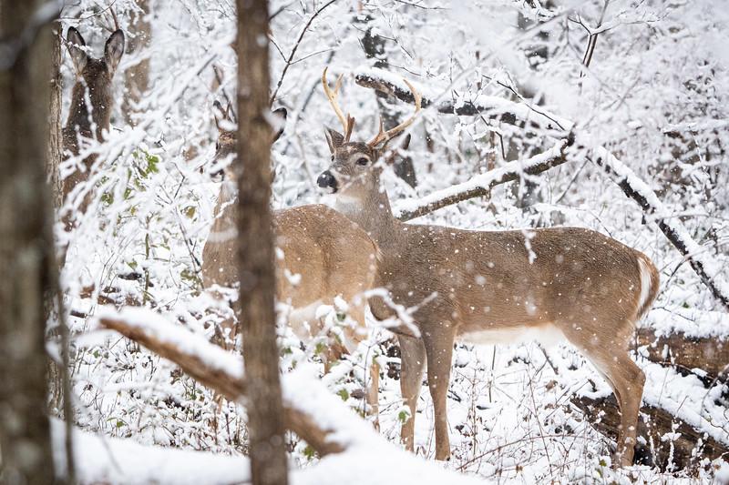 Deer at Fred Crabtree Park