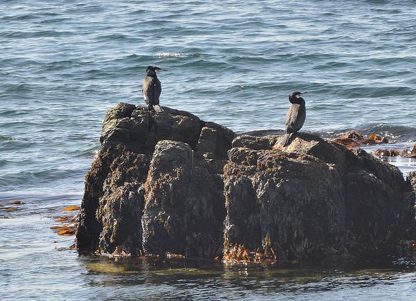 Great Cormorant.