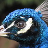 Pavo cristatus – Indian peacock closeup 3