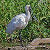 Royal Spoonbill, Schuster Park, Tallebudgera, Queensland.