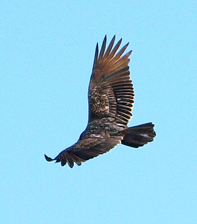 Turkey Vulture In Flight From Above