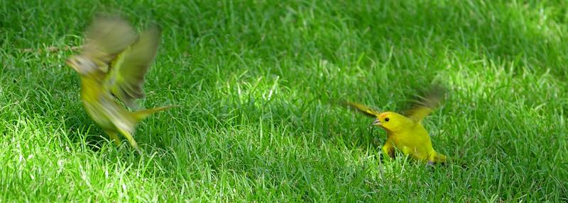 Saphron Finch Taking Off
