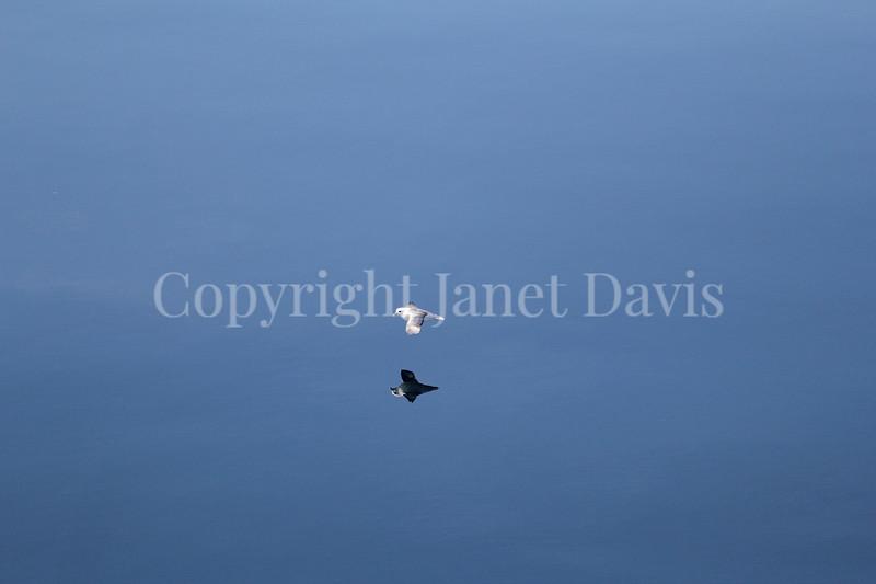 Fulmarus glacialis - Northern fulmar 5