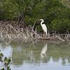Ardea herodias occidentalis – Great white heron 6