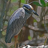 Yellow-crowned Night-Heron.