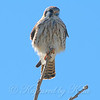 Kestrel Lets Me Get Close