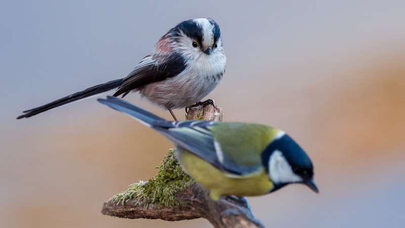 Long-tailed Tit / Aegithalos caudatus / Staartmees (and out of focus : Great Tit / Parus major / Koolmees)