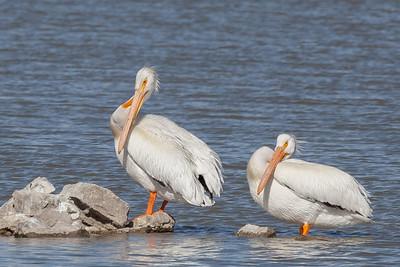 American White Pelican - Bear River National Migratory Bird Refuge, Utah
