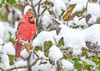 This male Cardinal seems a bit surprised by a mid-Octorber snowstorm, but he's not too worried.