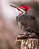 Pileated Woodpecker, Dryocopus pileatus