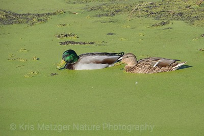 Mallards In The Soup