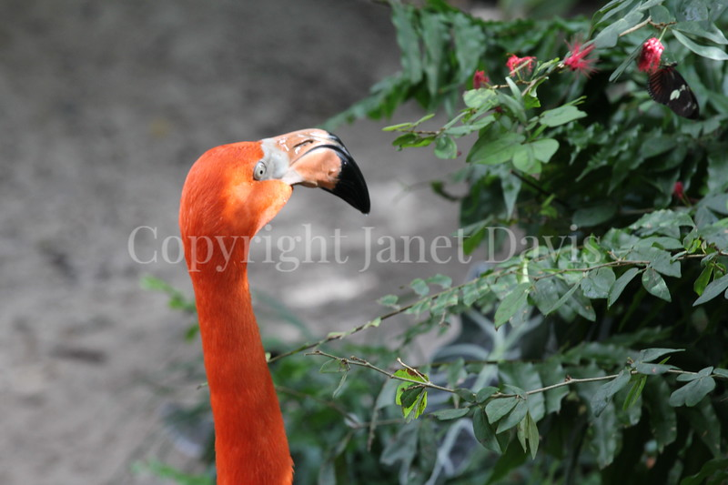 Phoenicopterus ruber – American flamingo 5