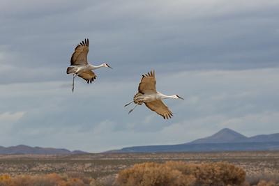 Sandhill Cranes, Bosque del Apache WLR, NM