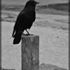 American Crow ~ Corvus brachyrhynchos