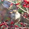 Passer domesticus – House sparrow 12