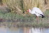 Yellow-billed Stork with Fish #1