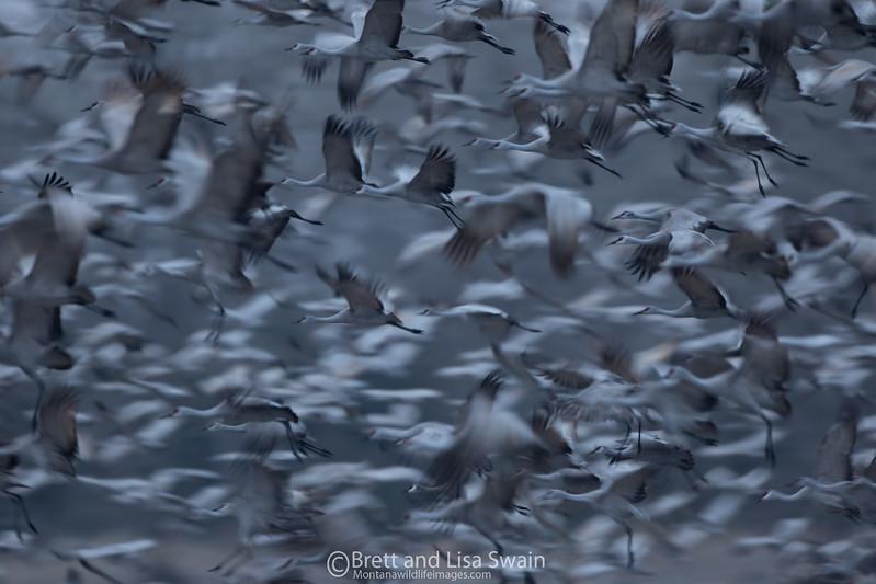 Sandhill Crane Motion Blur-Kearney, Nebraska
