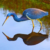 Tri-colored Heron feeding.