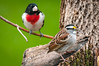 Whitethroated Sparrow and Redbreasted Grosbeak