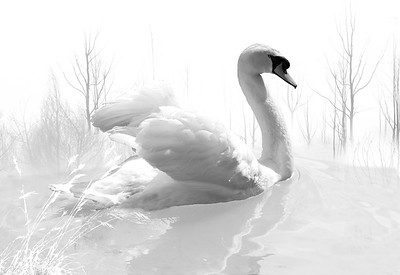 white swans bw
