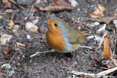 Forget your exotic birds - heres another Robin