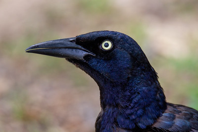 Great-tailed Grackle at Pioneer Plaza