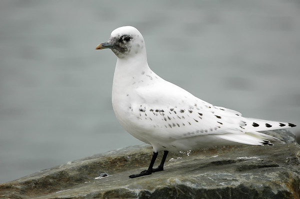 Immature Ivory Gull - Dartmouth, Nova Scotia