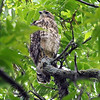 Finally, A Third Baby Hawk View 2
