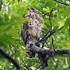 Finally, A Third Baby Hawk View 2