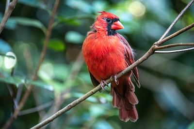 Red Cardinal.