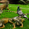 Geckos and Pigeon