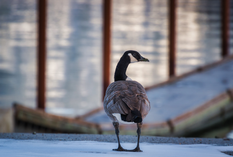 Winter Goose on Dock