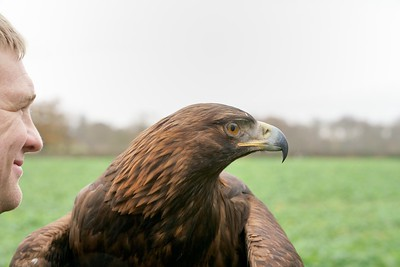 Griffin the Golden Eagle looking on with Dan