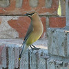 Cedar Waxwing By My Window View 1