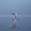 Fulmarus glacialis - Northern fulmar 11