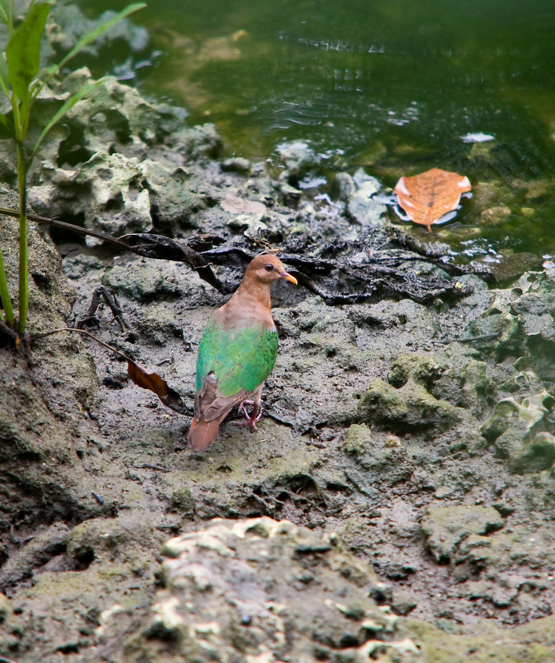 A common, yet skittish Emerald Dove walking the bank of a blue hole.<br /> <br /> Location: Santo island, Vanuatu<br /> <br /> Lens used: Canon 70-200mm f2.8 IS