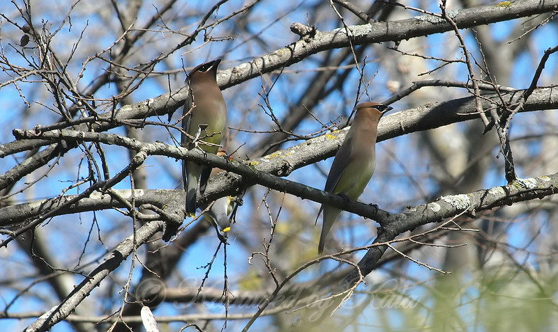 Waxwings In The Fish Hatchery