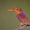 Ruddy kingfisher. Jurong Birdpark. Singapore