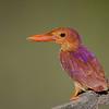 Ruddy kingfisher. Jurong Birdpark. Singapore