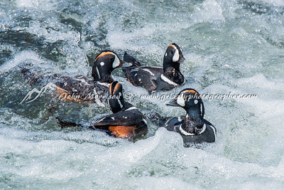 Harlequin ducks (4 males)