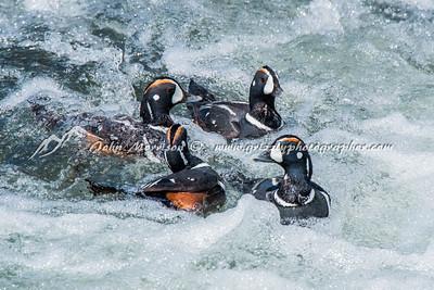 Harlequin ducks (4 males)