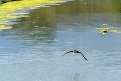 Double-Crested Cormorant in Flight 2