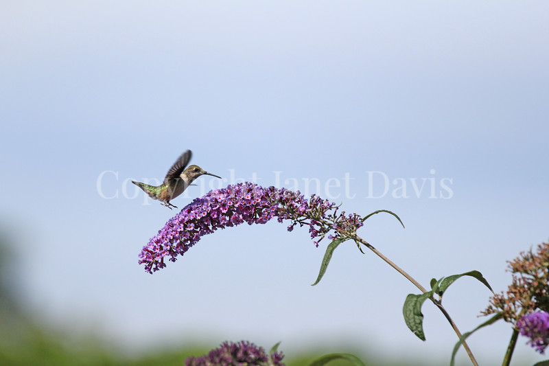 Archilochus colubris – Ruby throated hummingbird on Butterfly Bush 2