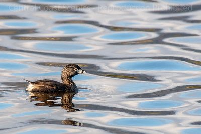 Pied-Billed Grebe, Breeding Adult