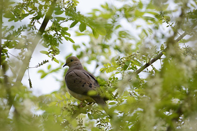 Mourning Dove on Locust Tree
