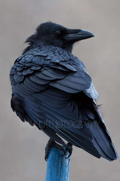 Raven on a blue post