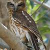 Sleepy Southern Boobook owl