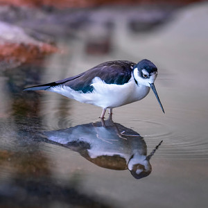 Busy Black-necked stilt