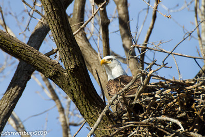 Bald Eagle, Haliaeetus leucocephalus (Accipitridae) from Iowa.
