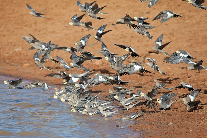 Cockatiel flock take-off 2